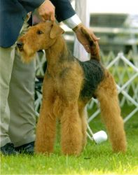 Jacob - Am Can Ch On Eagle's Wings At Hollytroy.  Reserve Winners Dog- Montgomery County.