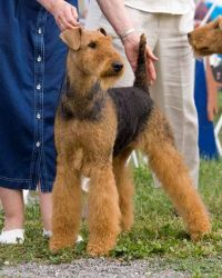 Josie - Multi BISS Am Can Ch Murryvale's Hollytroy Elite.  WB Montgomery Co.